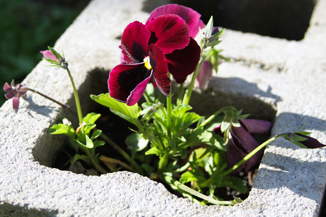 pansies, cinderblocks, cinderblock raised beds, gardening, Anne Butera, My Giant Strawberry