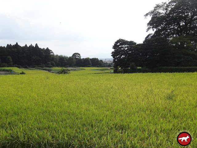 Champ de riz de Shugaku-In