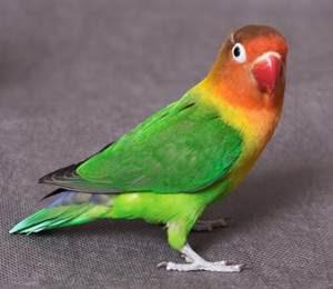 lovebird josan