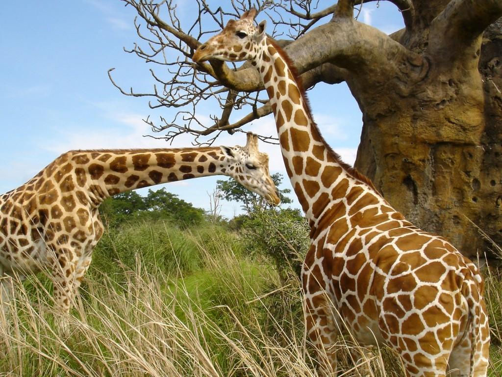 IMÁGENES Y FOTOS DE ANIMALES: Jirafa