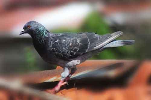 Warna Tritis - karakter burung merpati
