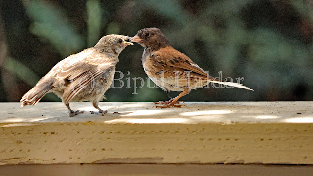 Dark Eyed Junco feeding a chick