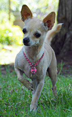 chihuahua with one foot raised, wearing pink collar