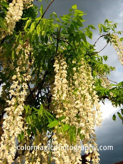 White wisteria flower clusters-close-up photo