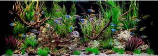 Hebatnya Cupang, Molly Dan Juga Ikan Pedang aquarium