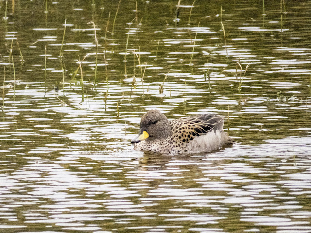 Spectacled teal duck in Torres del Paine National Park day trip in Chile.