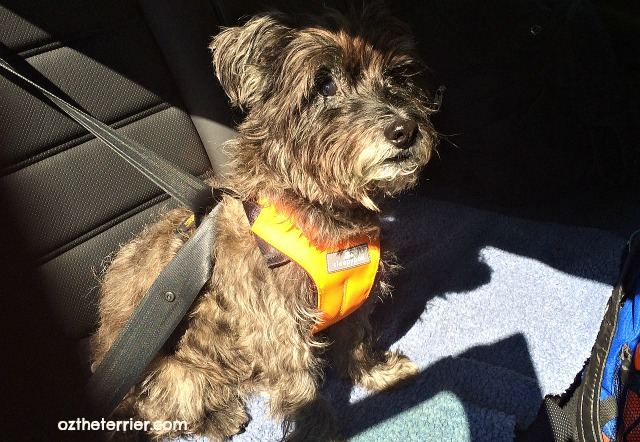Oz the Terrier 6 Traits of Responsible Pet Owners includes travel safety #BeSleepypodSafe