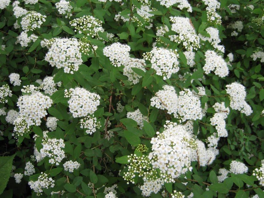 Piante e fiori spirea spiraea - Pianta da giardino con fiori bianchi ...