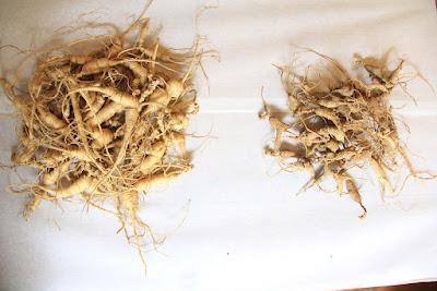 Herbal, Herbal Plant, herbal tea, ginseng, ginseng benefits, ginseng root, ginseng uses, ginseng herb, ginseng health benefits,