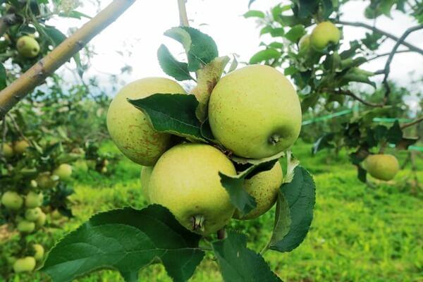 Petik Apel