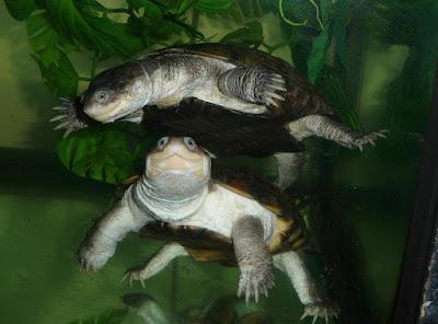 Temperamen African Helmeted Turtle