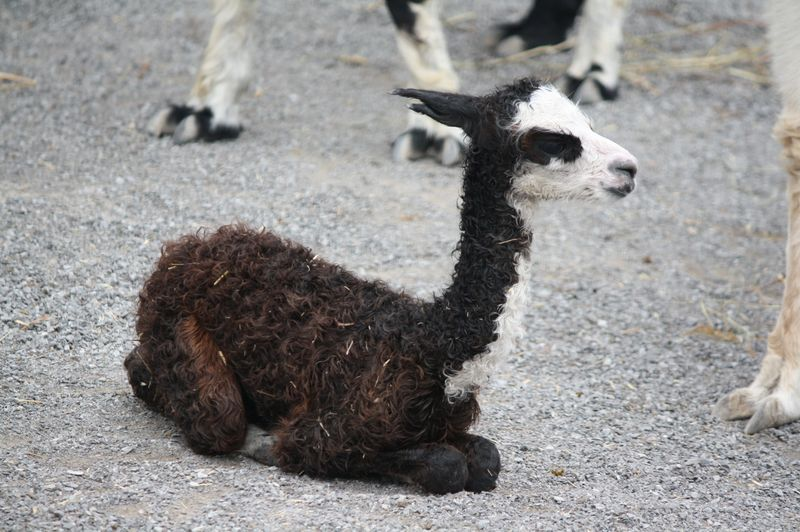 Baby Animals: Cria 3