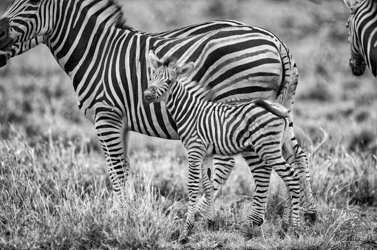Grayscale of Zebras