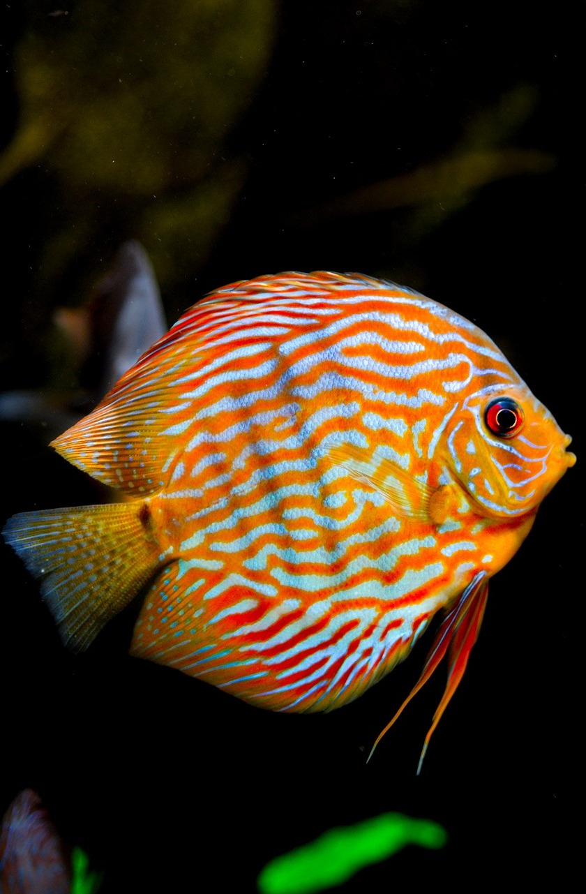 Picture of a colorful discus fish.