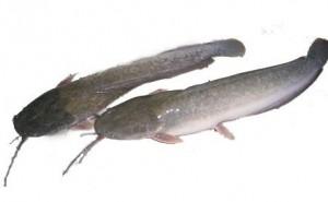 Health Benefits of Catfish
