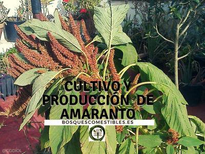 El amaranto es un cultivo muy exigente en nutrientes; si los suelos son pobres