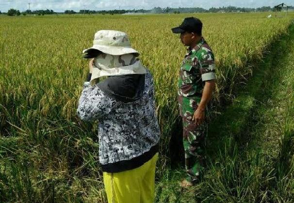 Koramil 03/Lima Pulu  Dampingi Petani Untuk Merawat Tanaman Padi di Desa Antara