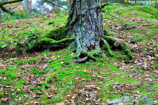 Pied de  pin, Fontainebleau