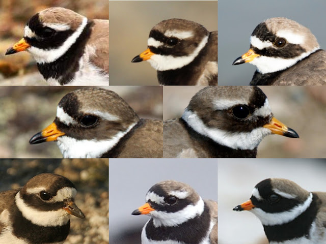 Common Ringed Plover head pattern