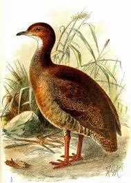 Red legged Tinamou