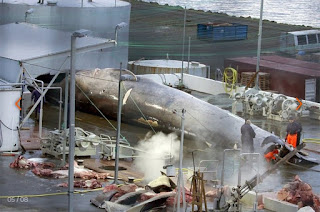 IN  ICELAND WHALERS KILL FIRST 'BLUE WHALE' IN OVER FIFTY YEARS