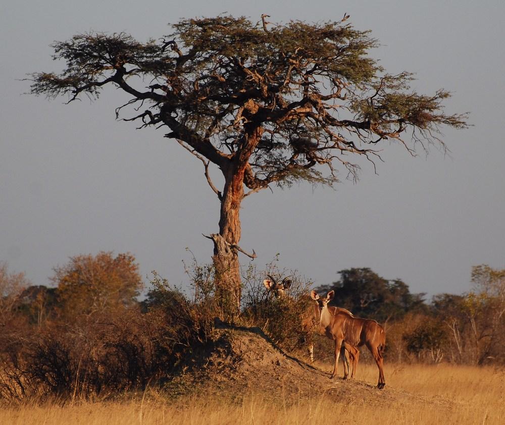 des Grands koudous au pied d'un acacia