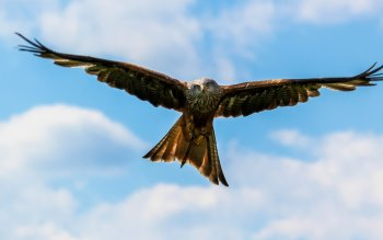 Wallpaper: Peregrine Falcon on the blue sky
