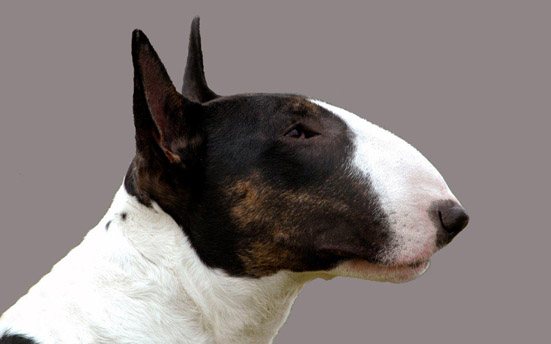 Dog With Bent Ears