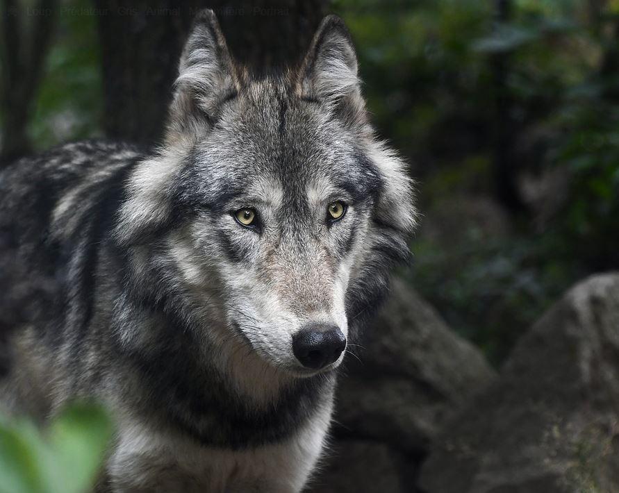 Parc animalier de Courzieu loup