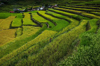 Batad Rice Terraces Golden Rice Harvest