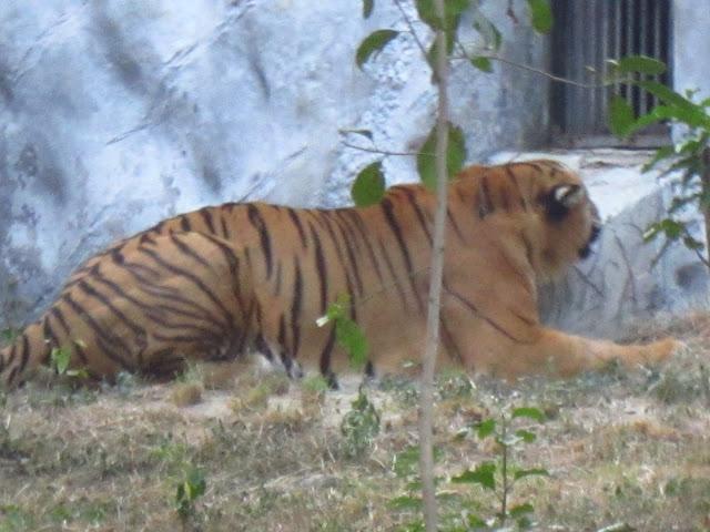 Tiger @ Kanpur Zoo