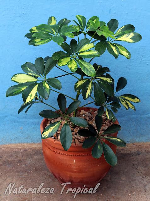"""Schefflera arboricola """"Variegata"""" en maceta"""