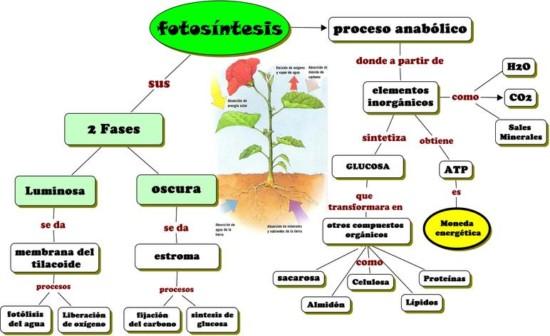 fases fotosintesis