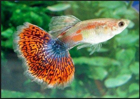 jenis dan harga ikan guppy terbaru
