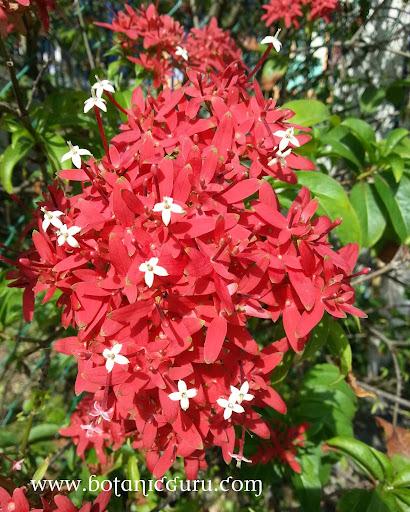 Carphalea kirondron, Flaming Beauty
