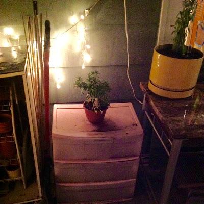 Marigold in Pot on Rubbermaid Storage Drawer for Garden Storage in Outdoor Urban Porch Garden