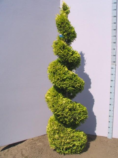 trees planet cupressocyparis leylandii leyland cypress. Black Bedroom Furniture Sets. Home Design Ideas