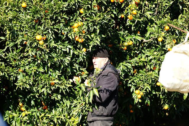 Θεσπρωτία: Aνάρπαστα τα θεσπρωτικά μανταρίνια, παρότι η παραγωγή φέτος είναι μειωμένη...