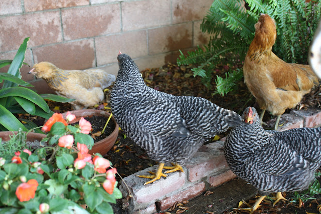ways to keep chickens cool in summer
