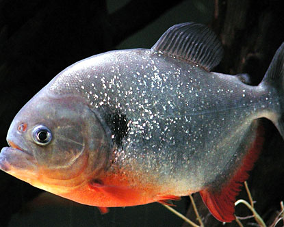 Amazing Piranha HD Wallpapers Download free images and photos [musssic.tk]