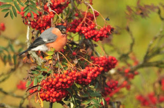 Male bullfinch in rowan tree