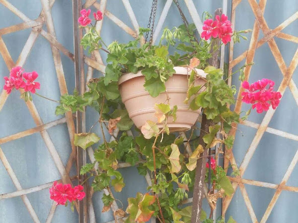 How to Breathe New Life into Your Pelargoniums