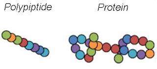 Proteins and Polypeptides.