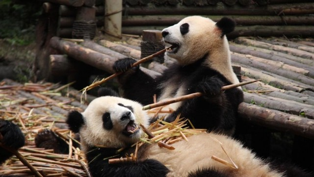 Ultimate Guide on Chengdu Panda Tour Guide 2019