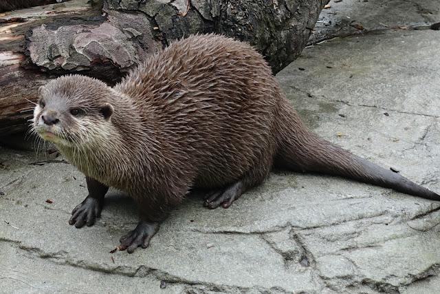 A otter at Paradise Wildlife Park in front of a log
