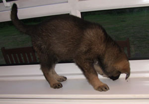 A puppy on the window ledge looking at a black speck