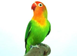 "Tips Merawat Burung Lovebird Agar Lebih ""Ngekrek"""