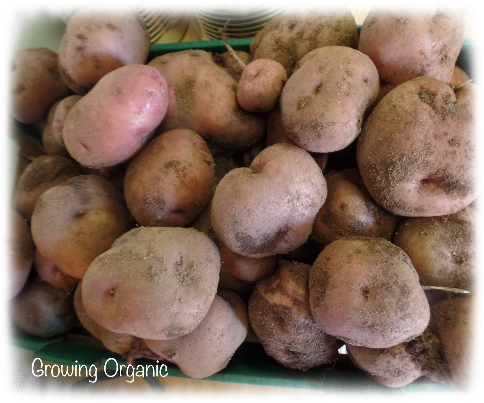 Growing Organic : How To Store Potatoes