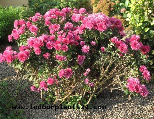 Florist's Chrysanthemum house plant