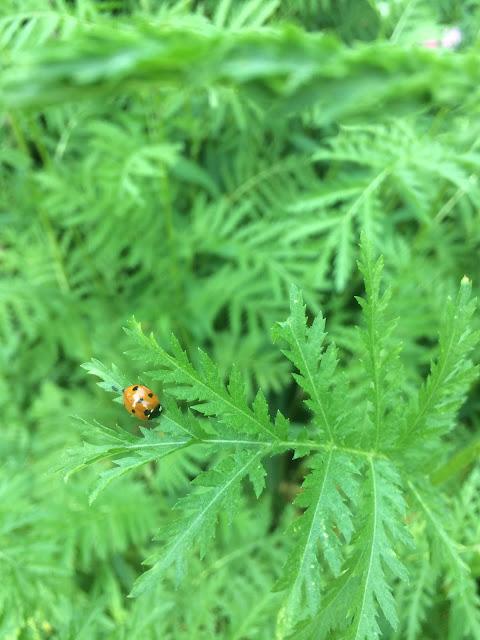 Orange ladybird on a tansy leaf